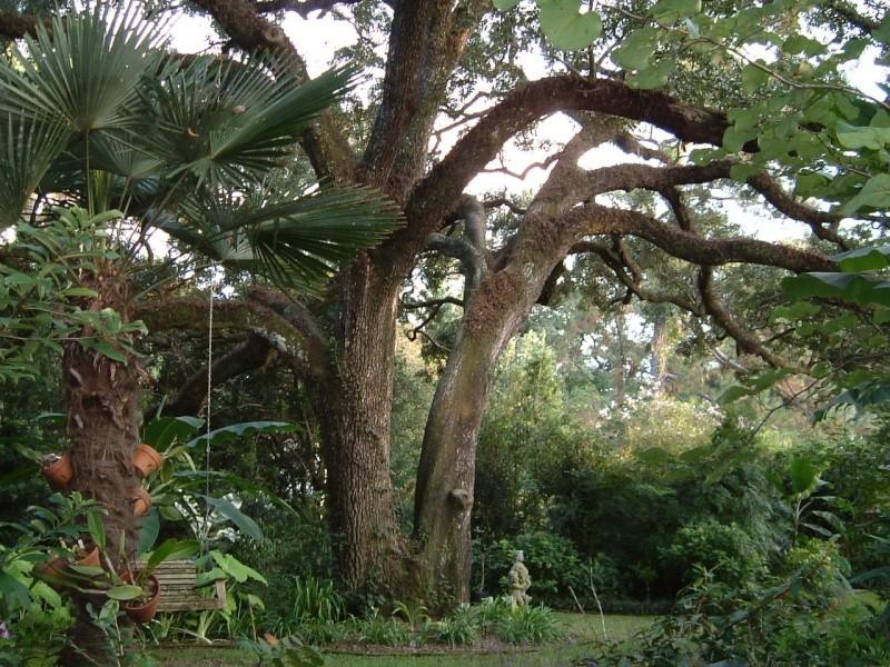 Beautiful Sarasota Banyan. 9-10_011