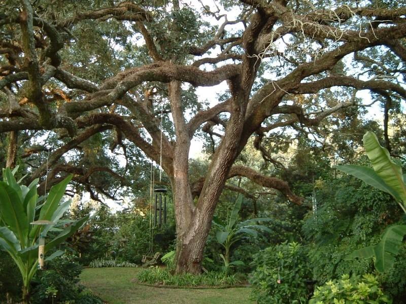 Beautiful Sarasota Banyan. 9-10_012