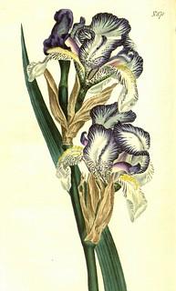 Les Iris plicata - une longue histoire et un bel exemple d'évolution 24119110