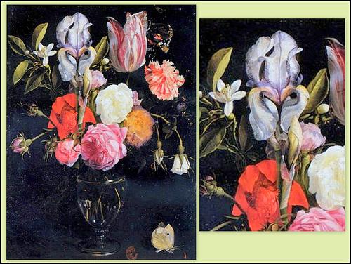 Les Iris plicata - une longue histoire et un bel exemple d'évolution 40461710