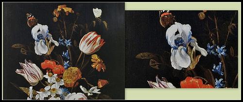 Les Iris plicata - une longue histoire et un bel exemple d'évolution 40461711
