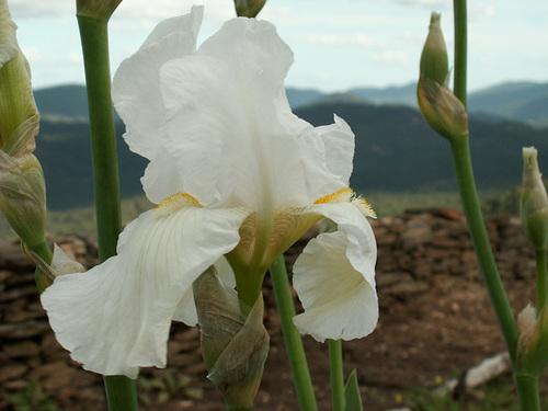 Nos Iris : floraisons 2012 87370410