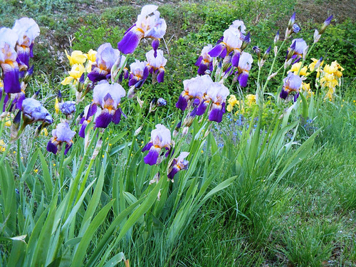 Nos Iris : floraisons 2012 87370411