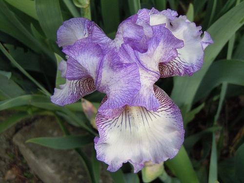 Nos Iris : floraisons 2012 87370412
