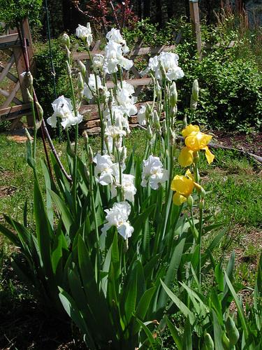 Nos Iris : floraisons 2012 87381611