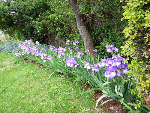 Nos Iris : floraisons 2012 87381614