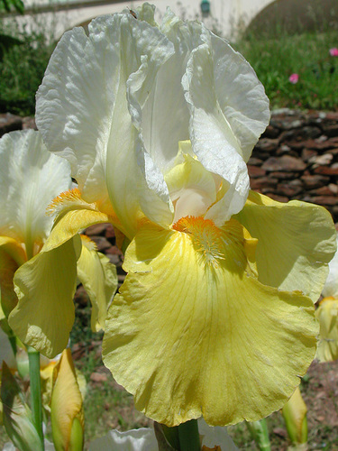 Nos Iris : floraisons 2012 - Page 2 87381616