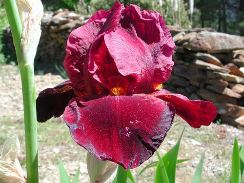 Nos Iris : floraisons 2012 - Page 2 87381617