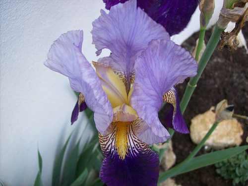 Nos Iris : floraisons 2012 Alcaza10