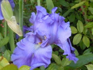 Floraisons de nos Iris barbus 2013 - Page 3 Breake10