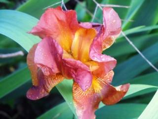 Floraisons de nos Iris barbus 2013 - Page 4 Iris_c11