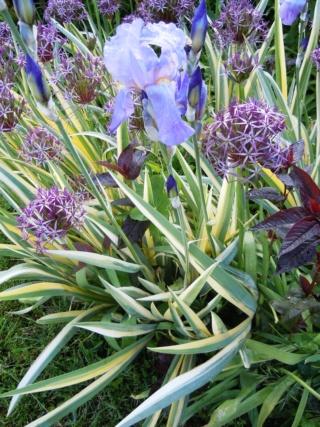 Floraisons de nos Iris barbus 2013 - Page 3 Palida11