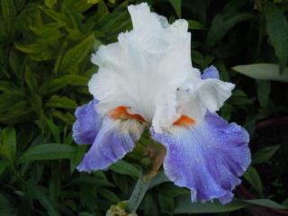 Floraisons de nos Iris barbus 2013 - Page 3 Parisi10