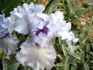 Floraisons de nos Iris barbus 2013 - Page 3 Silver10