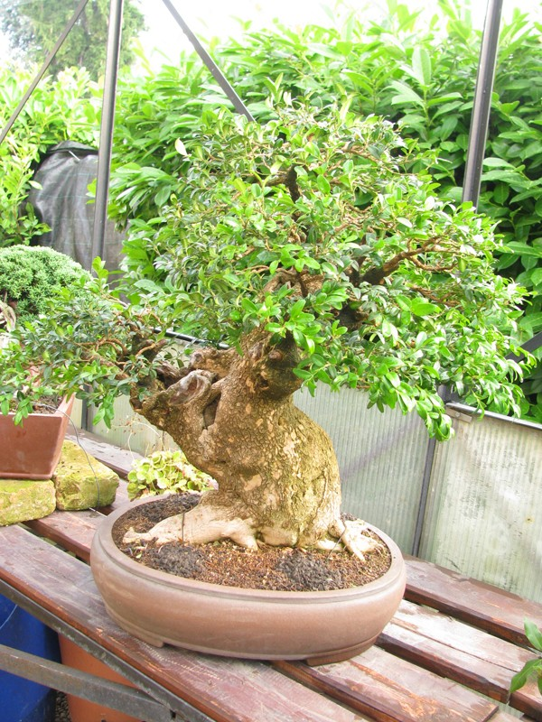 Restyling of one Master - Buxus Sempervirens 510