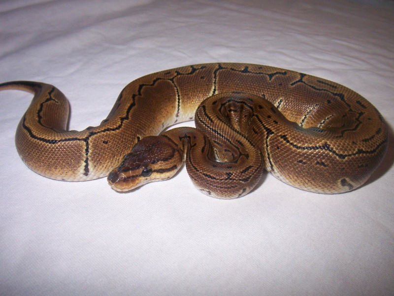 python regius 100_3310