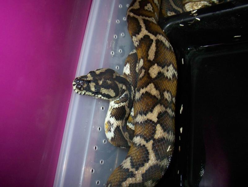 python morelia spilota variegata irian jaya 100_3566
