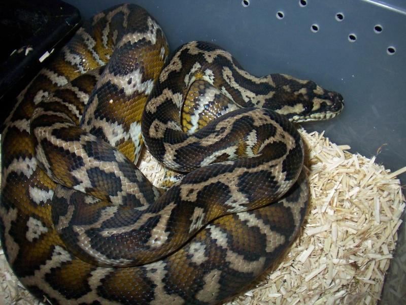 python morelia spilota variegata irian jaya 100_3567