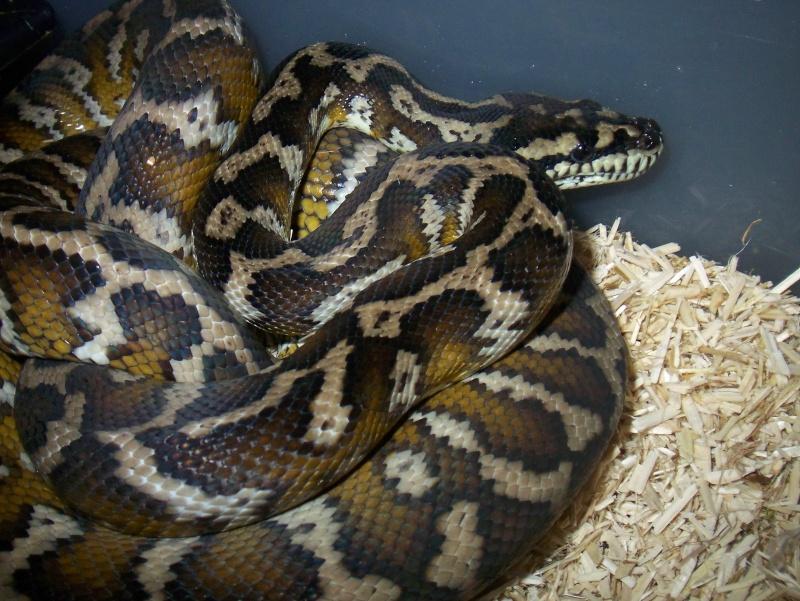 python morelia spilota variegata irian jaya 100_3568