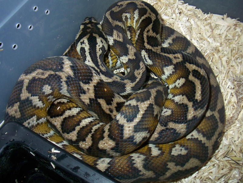 python morelia spilota variegata irian jaya 100_3570