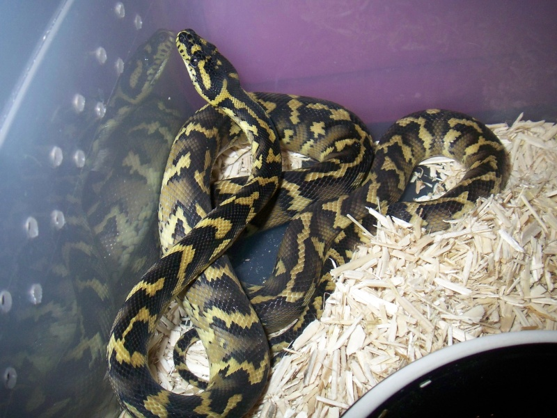 python morelia spilota variegata irian jaya 100_3620