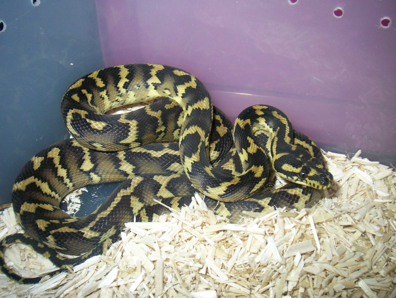 python morelia spilota variegata irian jaya 100_3621