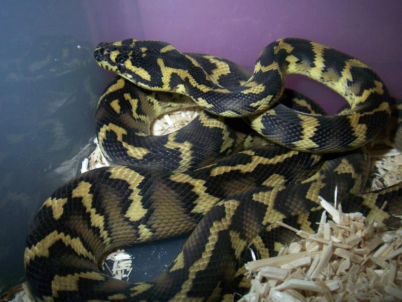 python morelia spilota variegata irian jaya 100_3622