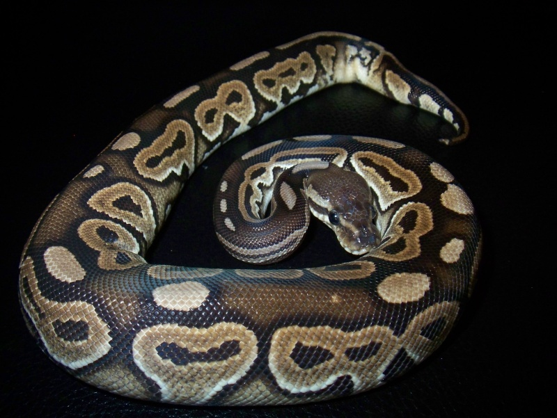 python regius 100_3741