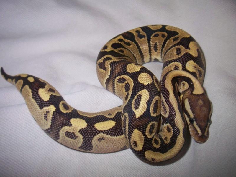 python regius 100_3742