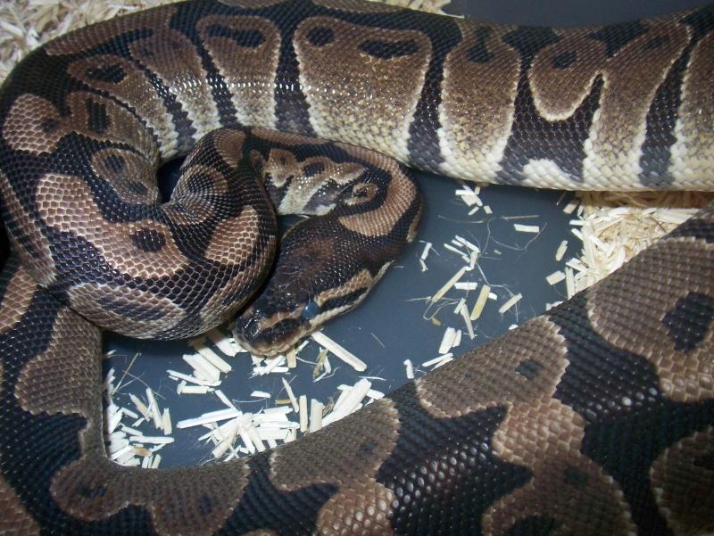 python regius 100_3743