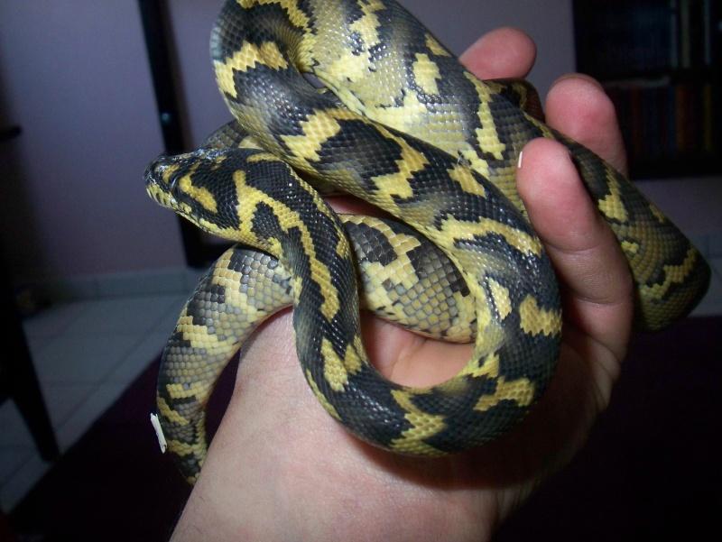 python morelia spilota variegata irian jaya 100_3754
