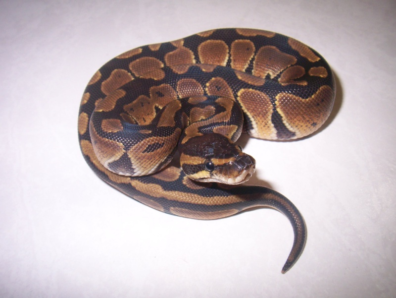 python regius Python16
