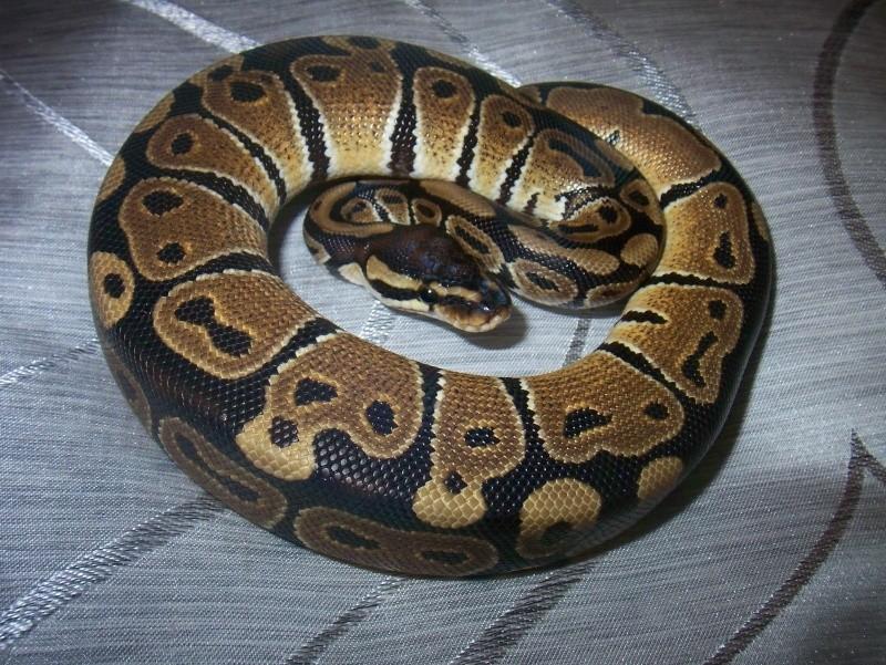 python regius Python17