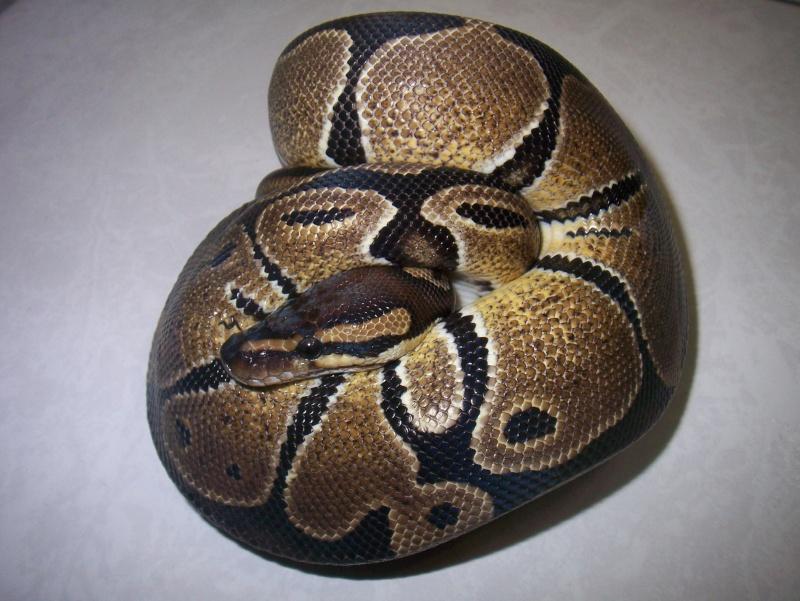 python regius Python18