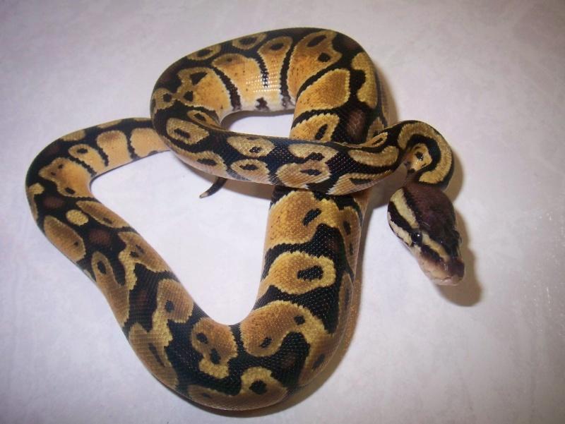 python regius Python19