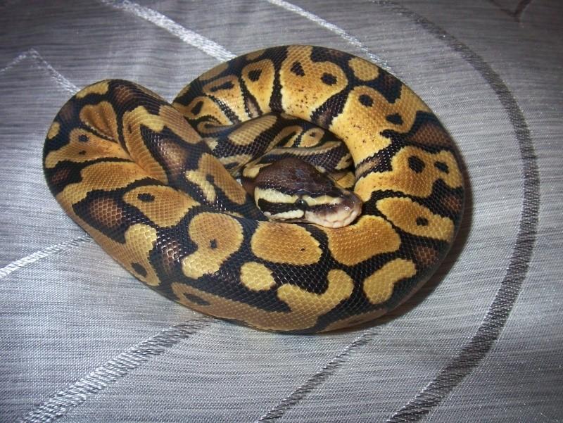 python regius Python20