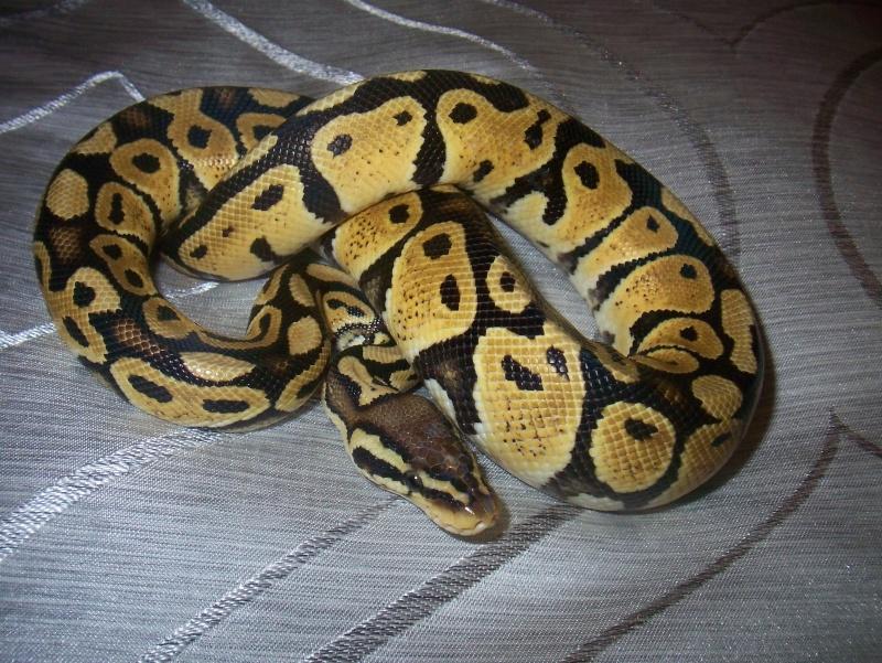 python regius Python21