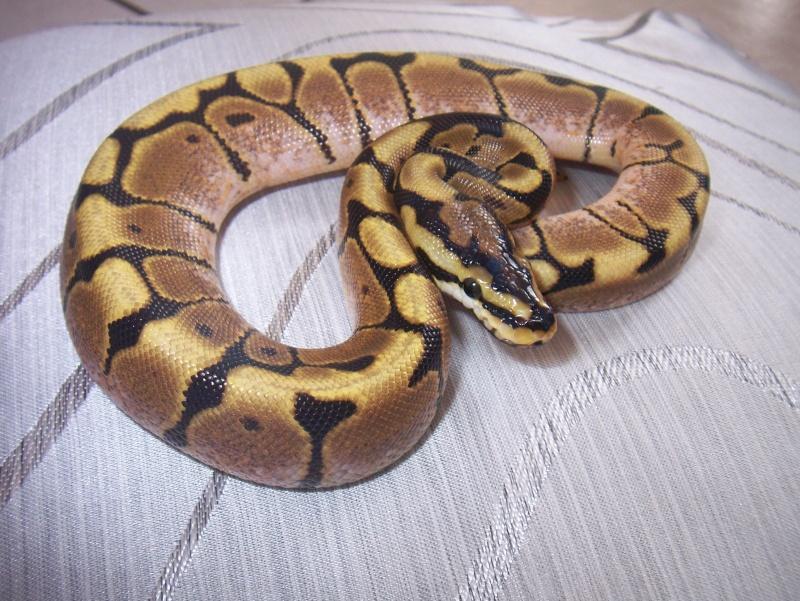 python regius Python22