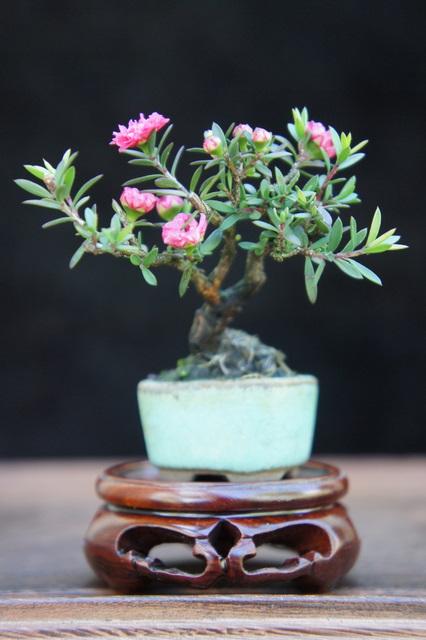 My Smallest NZ Tea Tree Dsc00312