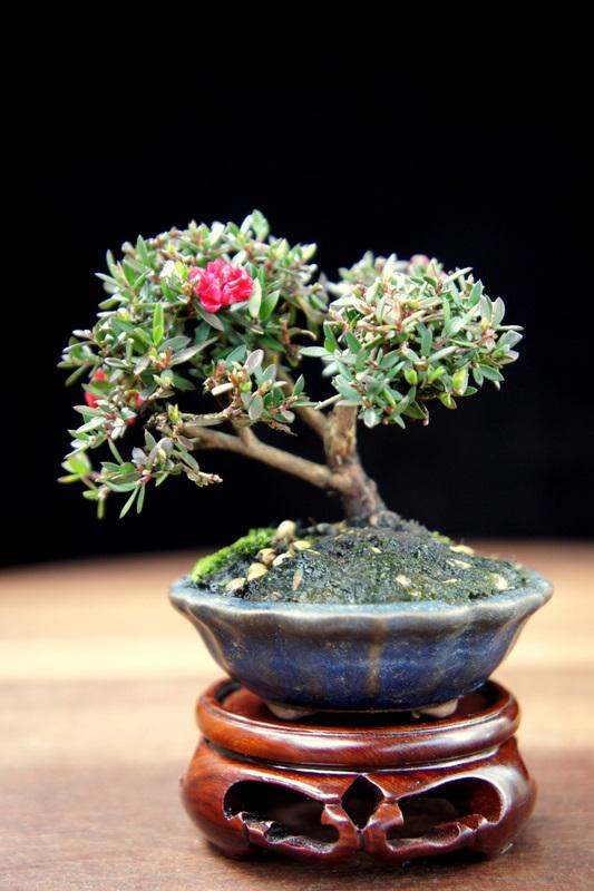 My Smallest NZ Tea Tree Dsc00313