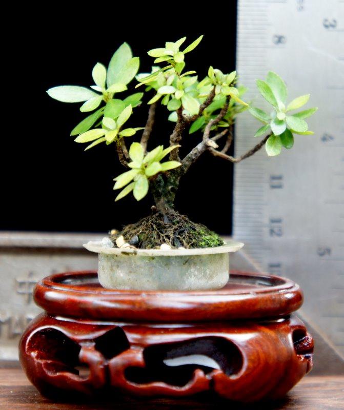 My Smallest NZ Tea Tree Dsc00411