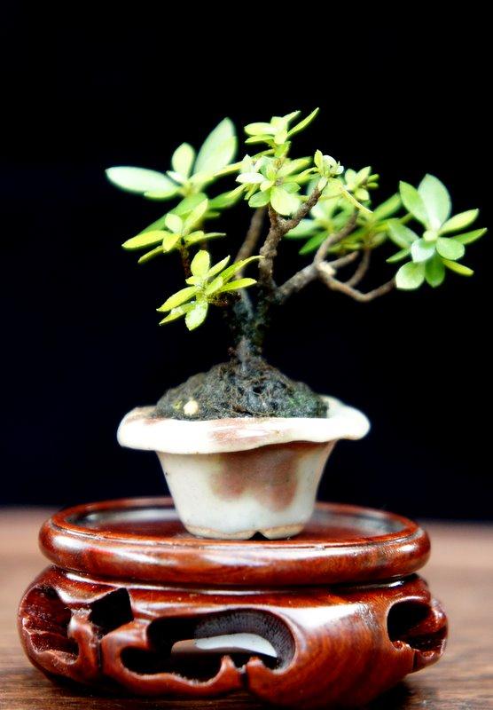 My Smallest NZ Tea Tree Dsc00412