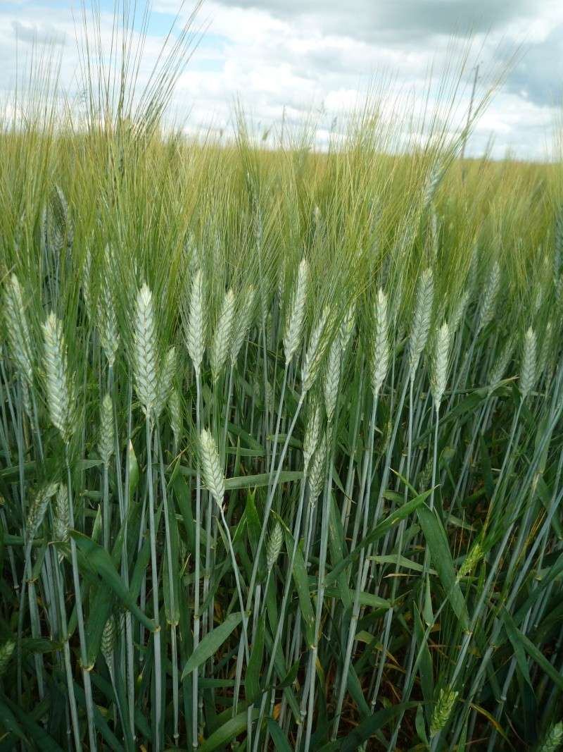 Etat des blés durs Bladur13
