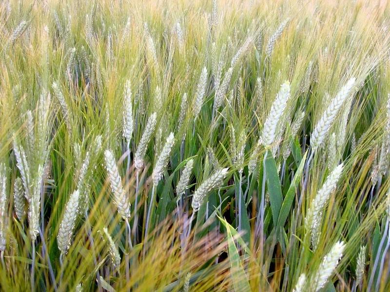 Etat des blés durs Bledur11