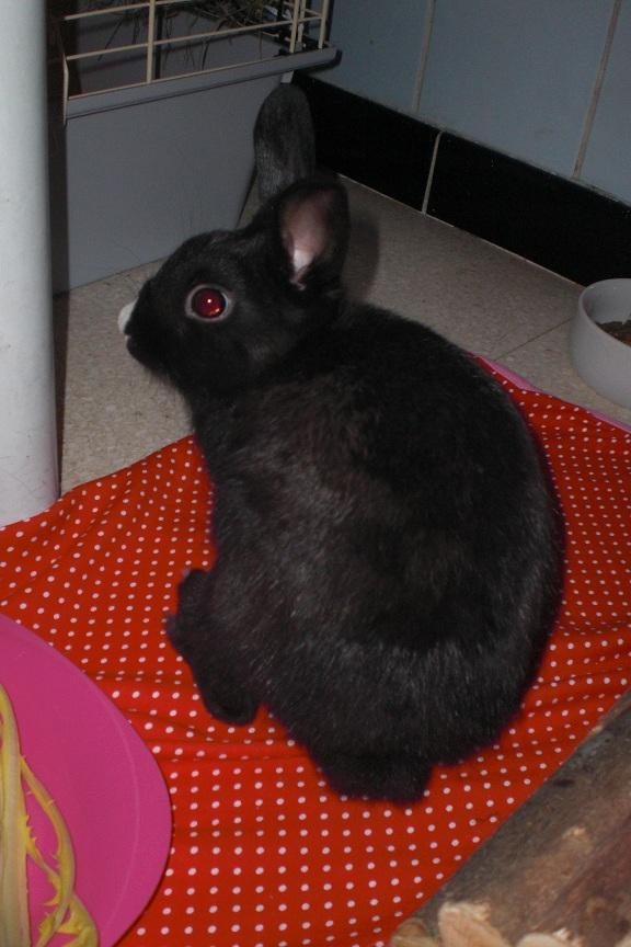Lolita, petite lapinette noire Cimg5410