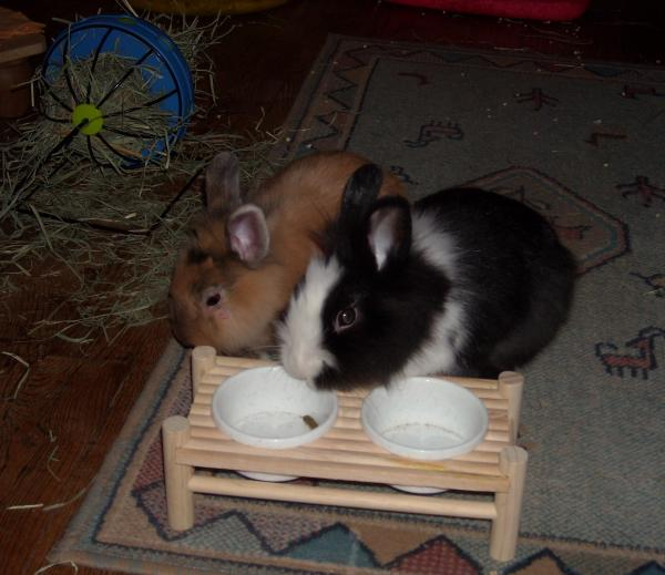 Chipie et Praline, lapines de 3 mois Dec_im12