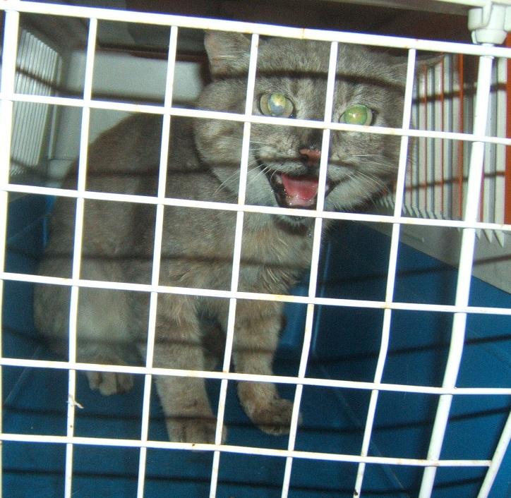 Cartouche, chat gris sauvage Dscf5211