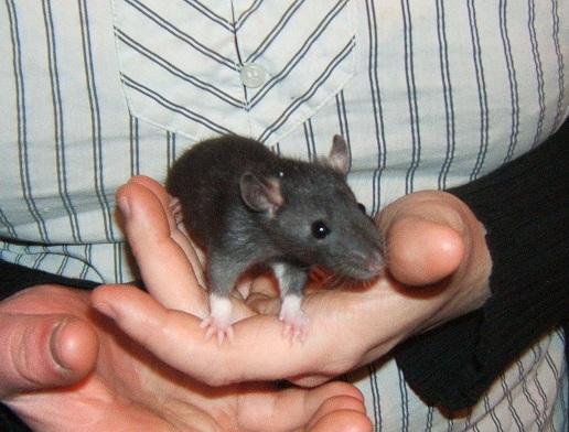 5 jeunes ratounes : Cannelle (stérilisée), Zoé, Linette (ADOPTEE), Filoute et Sherry (ADOPTEE) Dscf6817