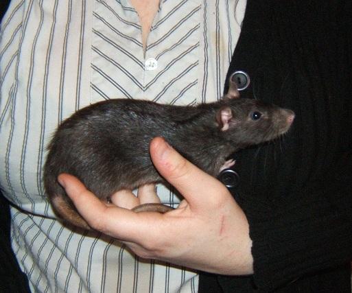 5 jeunes ratounes : Cannelle (stérilisée), Zoé, Linette (ADOPTEE), Filoute et Sherry (ADOPTEE) Dscf6819
