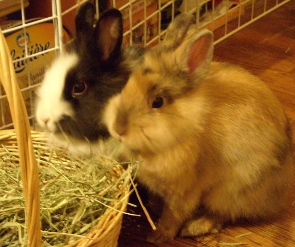 Chipie et Praline, lapines de 3 mois Novimg10